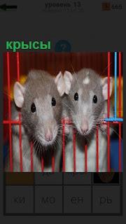 За красной решеткой сидят две крысы, которые высунули свои морды наружу