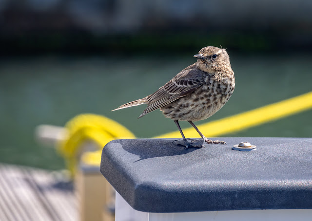Photo of a rock pipit on an electricity bollard
