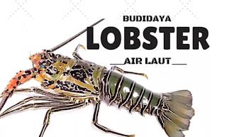 dalam negeri utamanya untuk kebutuhan restoran Kabar Terbaru- BUDIDAYA UDANG LOBSTER AIR LAUT