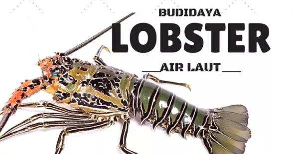 BUDIDAYA UDANG LOBSTER AIR LAUT