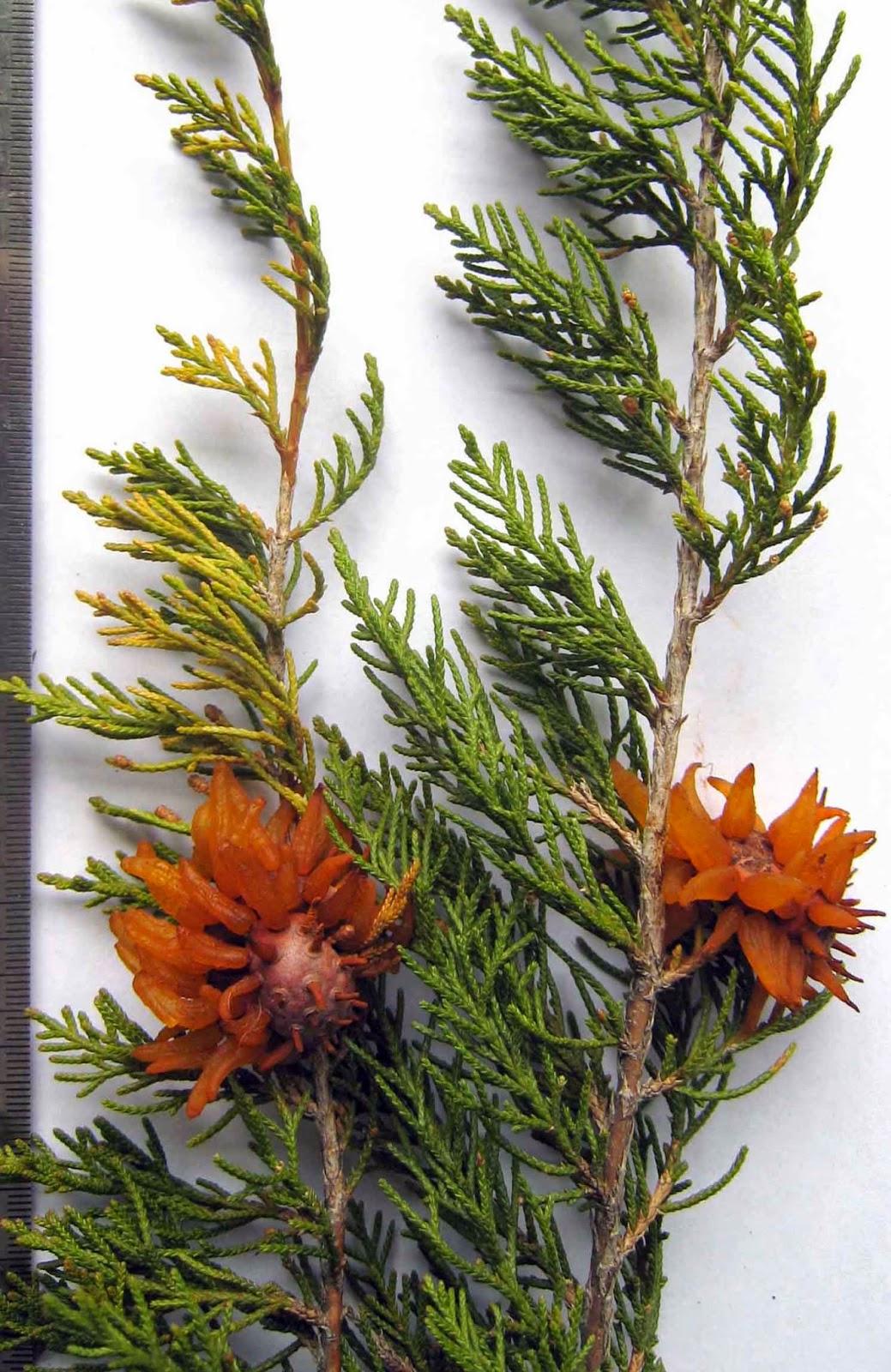 Gymnosporangium juniperi-virginianae on cedar