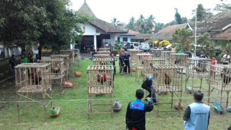 Kontes Ayam Pelung di IPB Bogor Rebutkan Tiga Piala