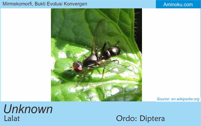Lalat yang mirip semut