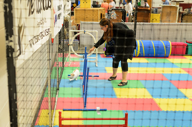 Agility Ring at the National Capital Cat Show