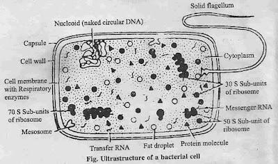 कोशिका किसे कहते है ? इसकी संरचना , प्रकार, सिद्धांत, विशेषताए, भाग एवं प्रोकैरियोटिक और यूकेरियोटिक कोशिका में अंतर, कोशिका की संरचना (Structure of the cell) , संयुक्त सूक्ष्मदर्शी में कोशिका की संरचना, इलेक्ट्रॉन सूक्ष्मदर्शी में जन्तु कोशिका की संरचना