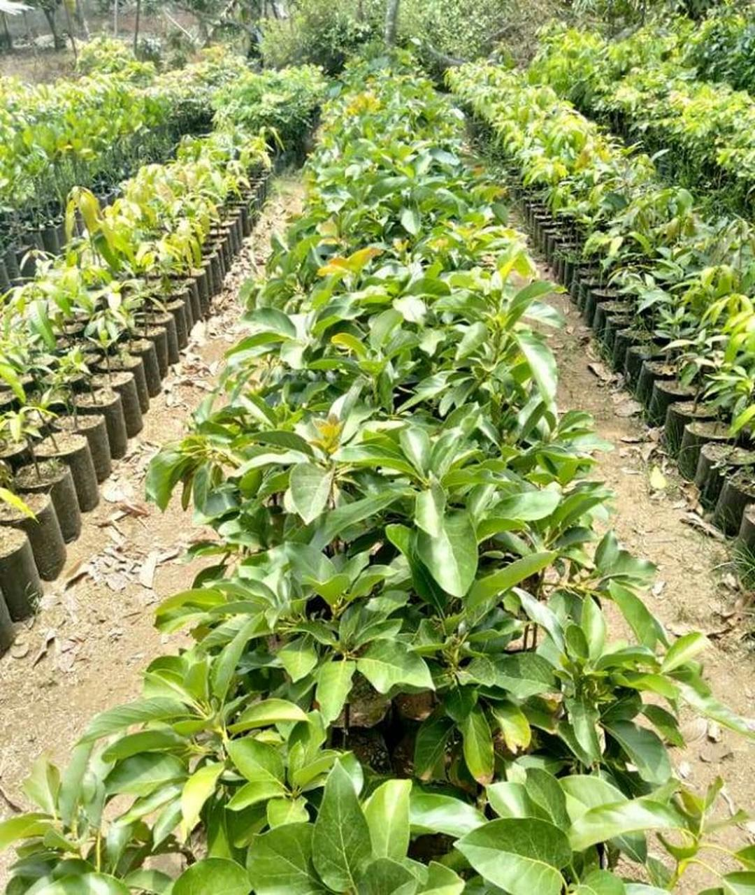 Bisa Beli Ecer! Bibit Tanaman Buah alpukat kendil Siap Berbuah Kota Bogor #jual bibit buah genjah