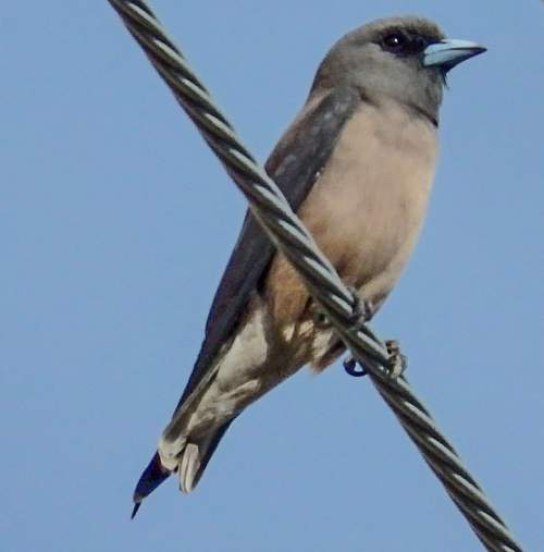 Birds of India - Photo of Ashy woodswallow - Artamus fuscus