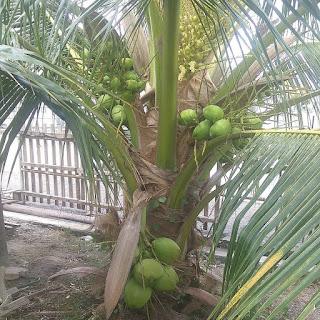 Bibit kelapa pandan wangi merupakan tanaman unggul dengan kualitas cepat berbuah. Pohon kelapa Pandan wangi pada umumnya dapat berbuah pada umur 4 tahunan dengan kondisi pohon batang keras sekitar 1 meter tingginya. Kelapa pandan wangi i