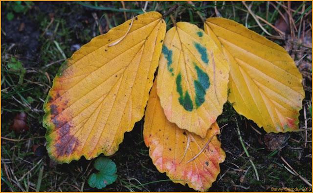 oczar liście
