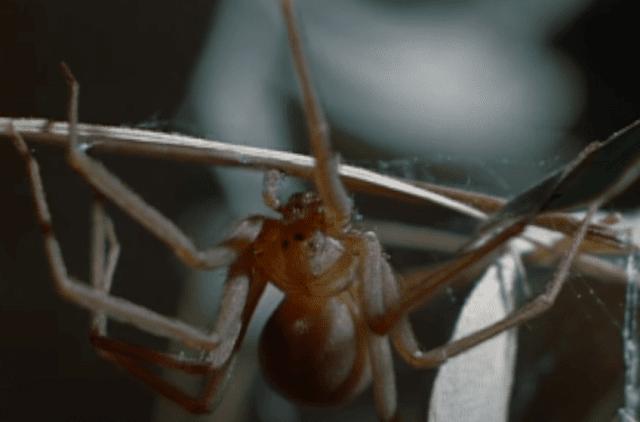 عنكبوت الناسك البني