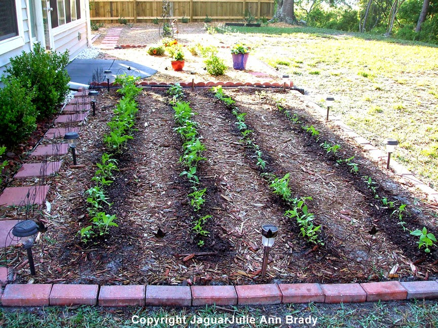 Sunflower Garden Four Rows of Seedlings at 30 Days ~ JaguarJulie