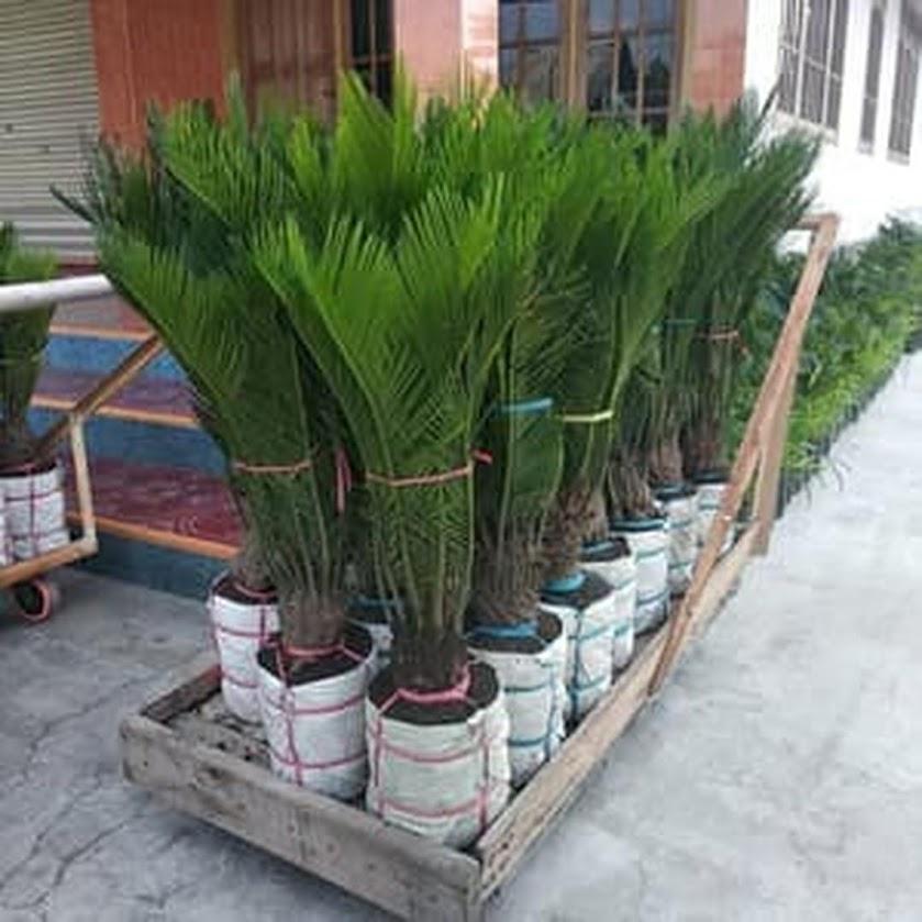 Bibit Palem Sikas Mawar Jambe Besar Sumatra Barat