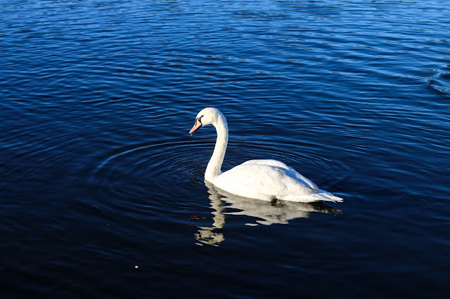 Photo of a swan in blue water by Jordanne Lee Creative