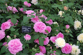 Gertrude Jekyll on the David Austin stand at Gardeners' World Live 2013 in the RHS Floral Marquee. See the full film here.