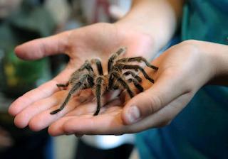 are tarantulas poisonous