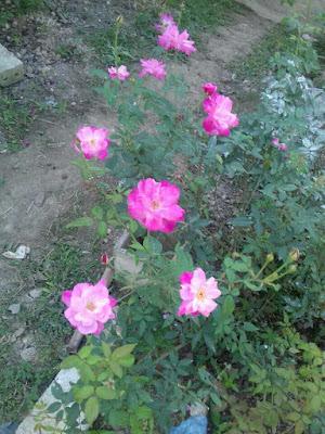 hoa hồng quế màu hồng cánh sen