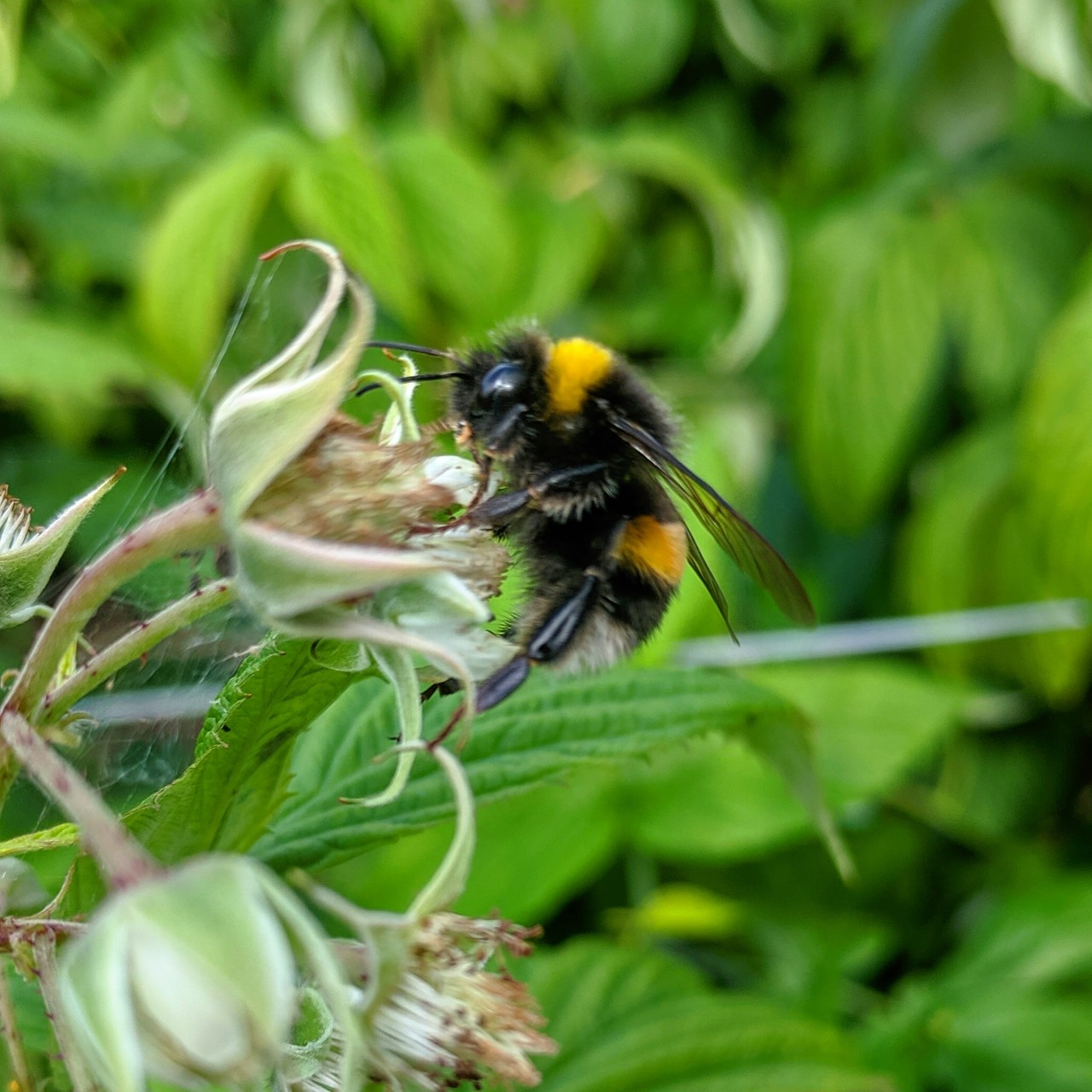 Buffed Tailed Bumble Bee