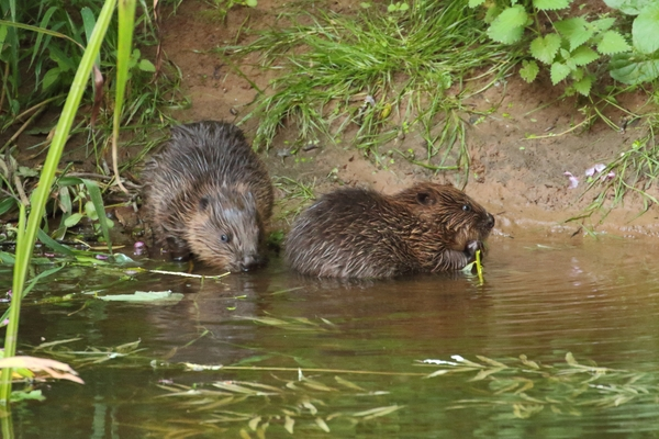 Female (mother) and kits on the River Otter, East Devon, August  2016. Photo copyright Mike Symes (All rights reserved)