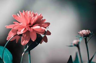 خلفيات زهور روز روعة