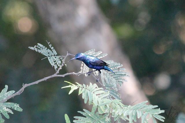 Purple Sun Bird - Karanji Kere, Mysuru
