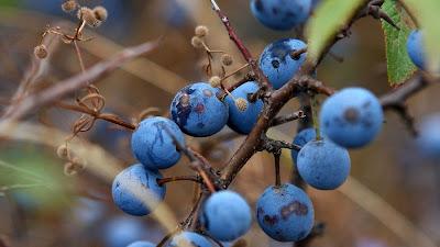foto pohon buah blueberry
