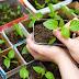 Чем подкормить рассаду перцев и когда именно это лучше делать?