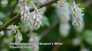 Ribes Sanguimeum Elkington's White