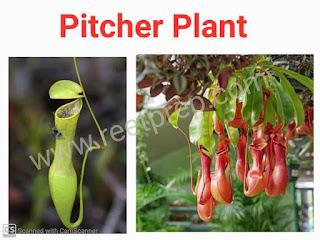 Piche plant