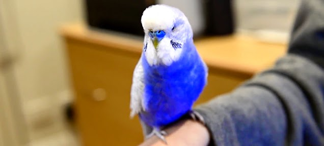 Budgie Sounds Exactly Like R2-D2