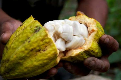 Ripe cocoa pod and beans