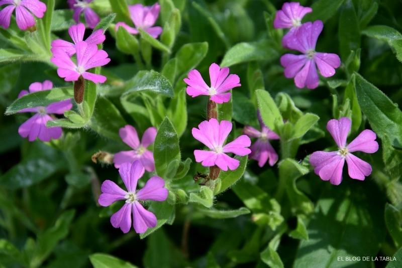 flores silvestres color rosa