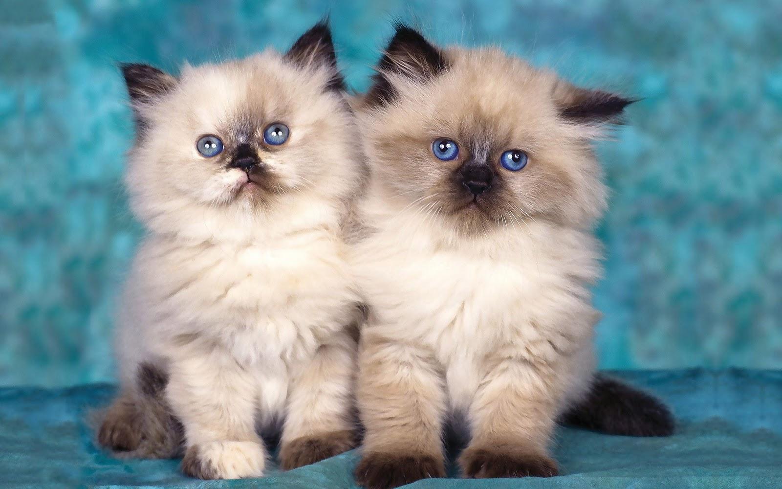 Bureaublad achtergrond met jonge katjes met blauwe ogen