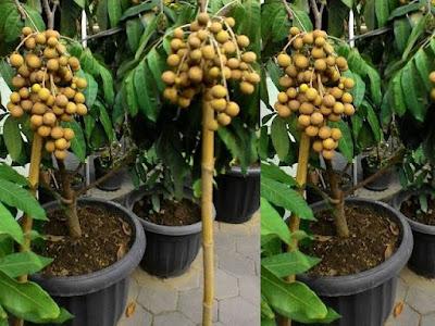 Sentra Penjual Bibit Pohon Kelengkeng di Cirebon Paling Murah Dan Lengkap