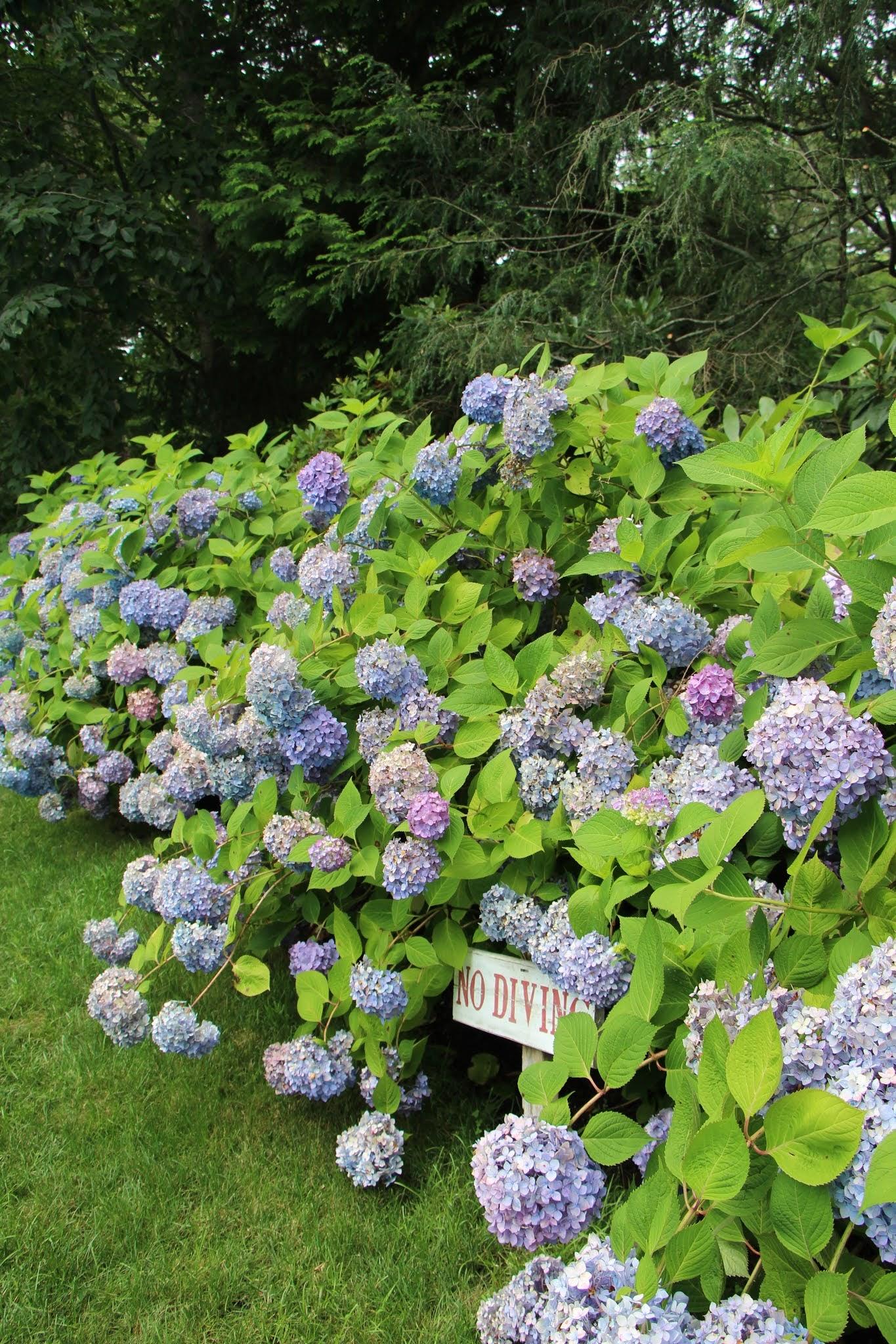 hydrangeas, hamptons, east hampton, long island, summer, flowers, travel guide