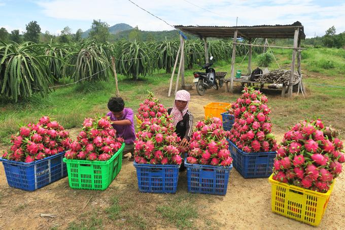 Chị Lê Thị Điệp (huyện Hàm Thuận Nam, Bình Thuận) cùng con trai thu hoạch thanh long.