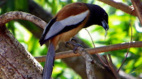 Rufous tree pie bird_Dendrocitta vagabunda