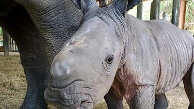 أنثى وحيد القرن تضع مولودها المهدد بالإنقراض