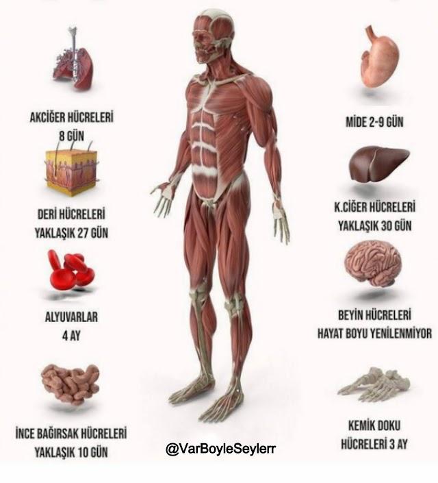 Hangi organ ne kadar sürede yenileniyor?