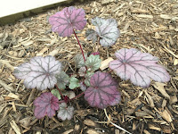 Heuchera 'Sugar Plum' Coral Bells