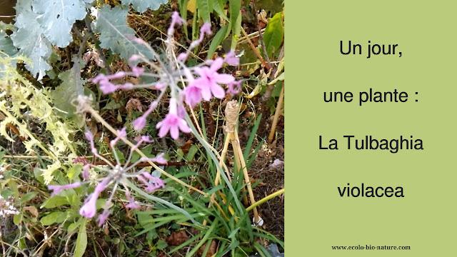Un jour, une plante : la Tulbaghia violacea (vidéo)
