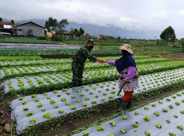 Babinsa Koramil 01/Kota Bantu Petani Bersihkan Rumput Di Area Tanaman selada