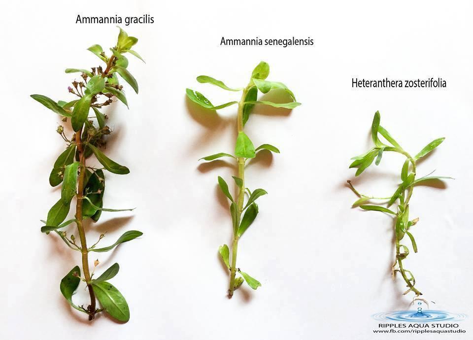 heteranthera zosterifolia ammannia senegalensis ammannia gracilis