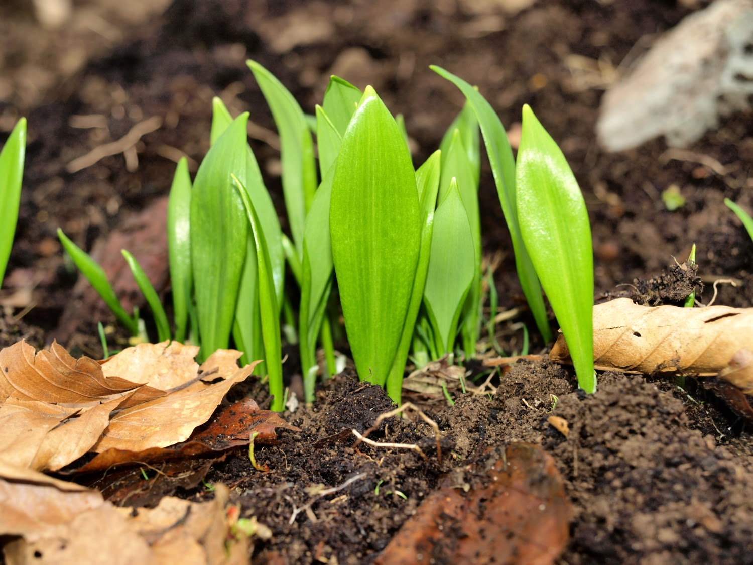 An image of wild garlic (Allium ursinum) leaves just emerging from the ground.