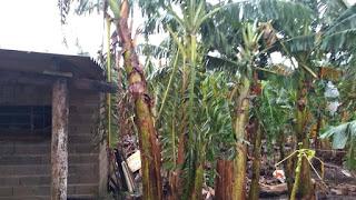 Tempestade com chuva e granizo causaram prejuízos para Bananicultores no Vale do Ribeira