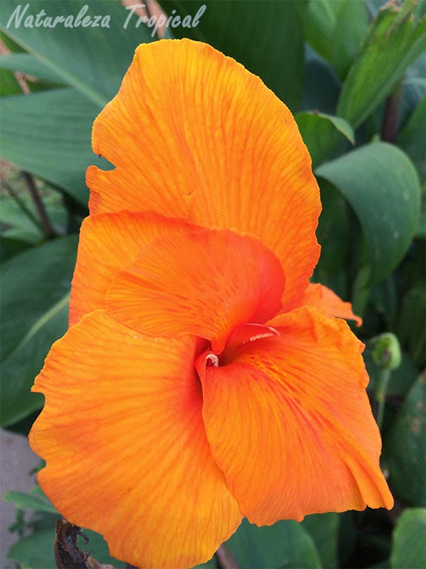 Variedad naranja de la flor Caña de India