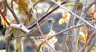 Blue Finch, Porphyrospiza caerulescens