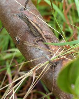 Lézards arboricoles de Cuba avec une ligne dorsale claire