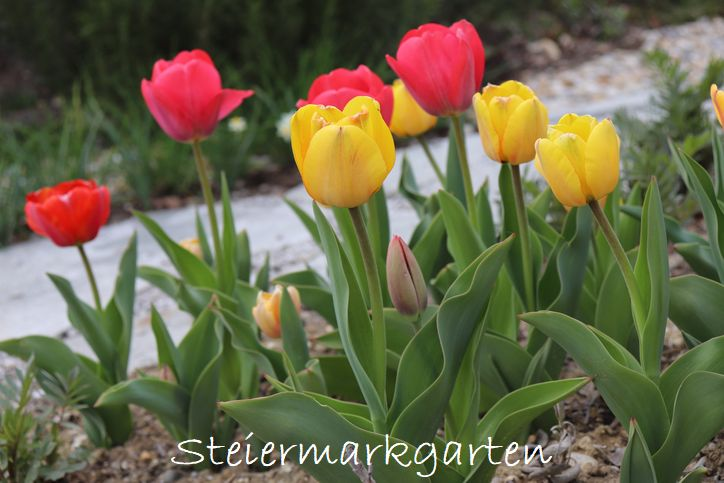 Tulpen-im-Garten-Steiermarkgarten