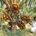 ஆண்டுக்கு 300 இளநீர் காய்க்கும் அதிசய தென்னை... திருப்பூர் விவசாயி கண்டுபிடிப்பு