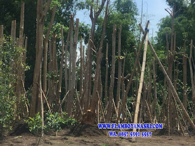 Foto Gambar Bonsai Pohon Pule